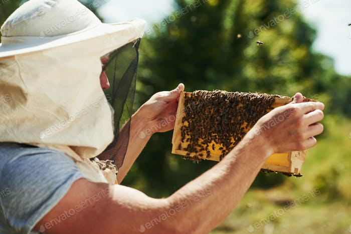 Looks at the honey. Beekeeper works with honeycomb full of bees outdoors at sunny day