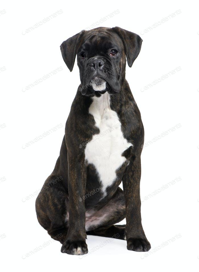 Boxer (5 Monate)