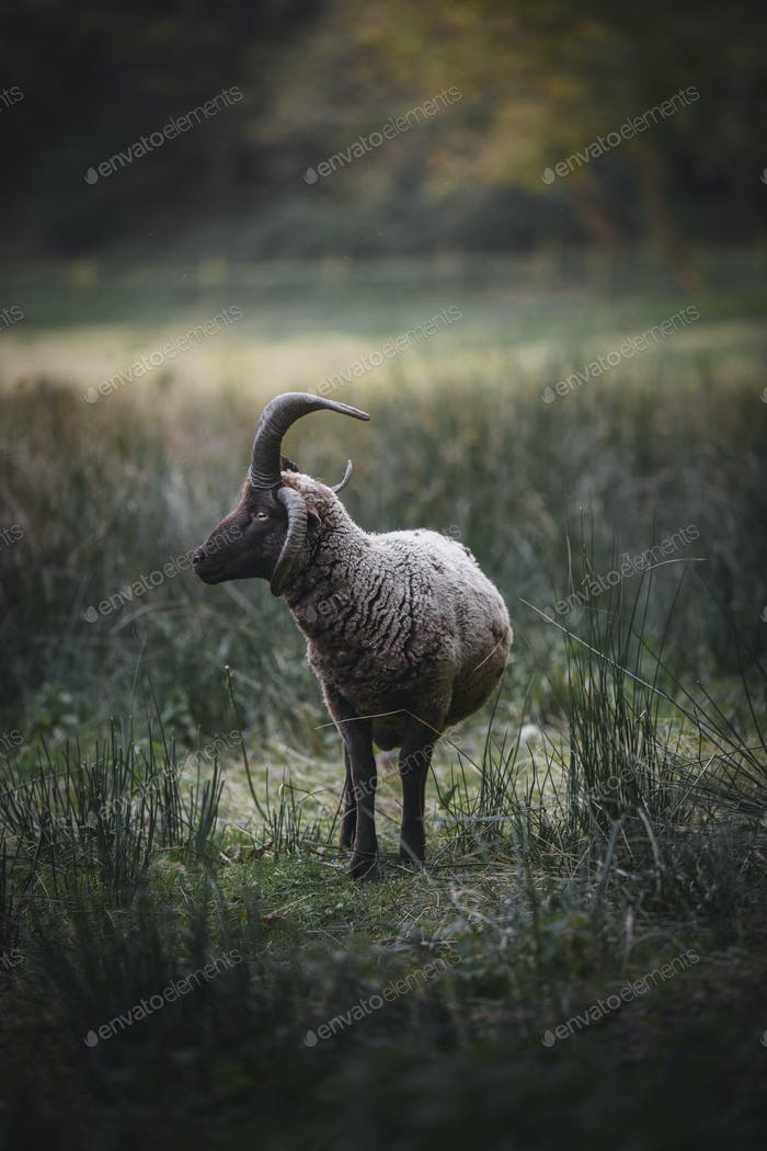Sheep in the wild