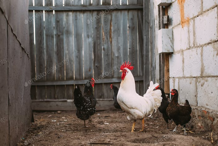 White Chicken Rooster Walking In Rustic Farmyard