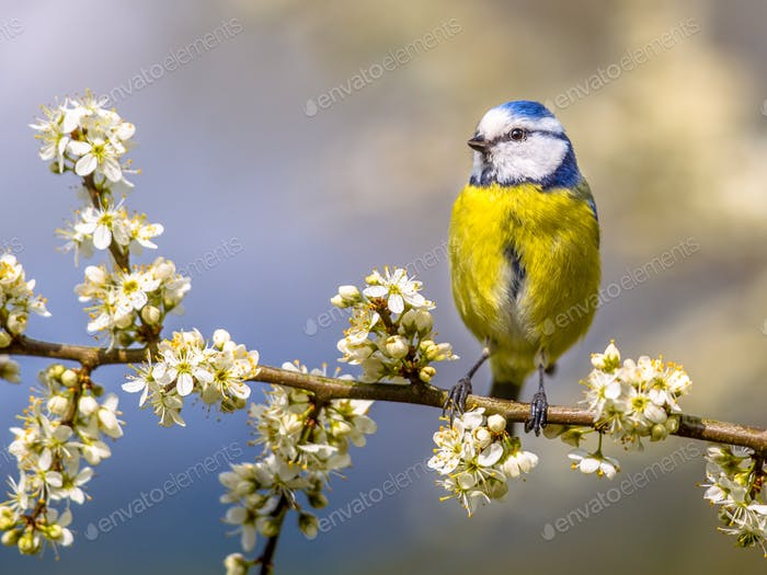 Blue tit in white blossom