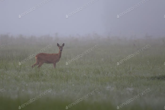 Roe deer in the morning mist