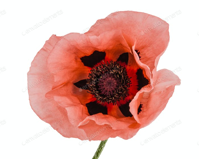 Flower of rose poppy, lat. Papaver, isolated on white background