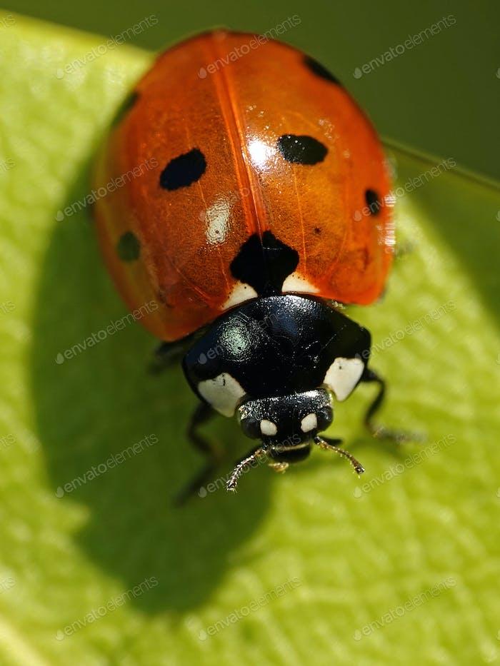 Seven-spot ladybird (Coccinella septempunctata)