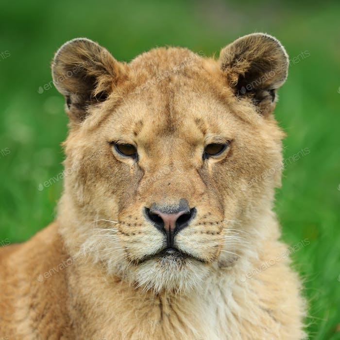 Lion in green grass
