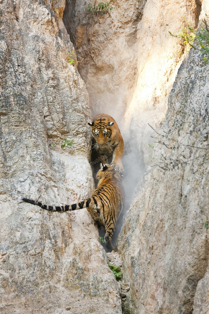 High angle view of two tigers in a narrow gorge.