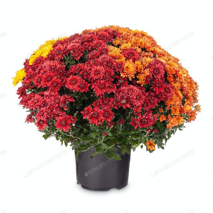 Herbst Chrysanthemum Blumen