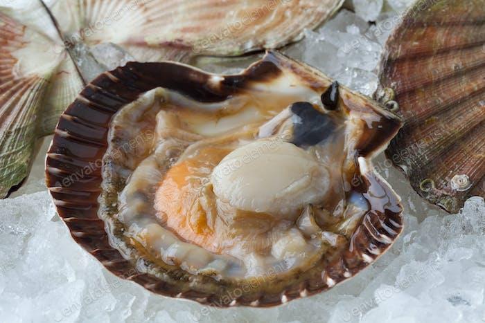 Fresh raw open scallop on ice