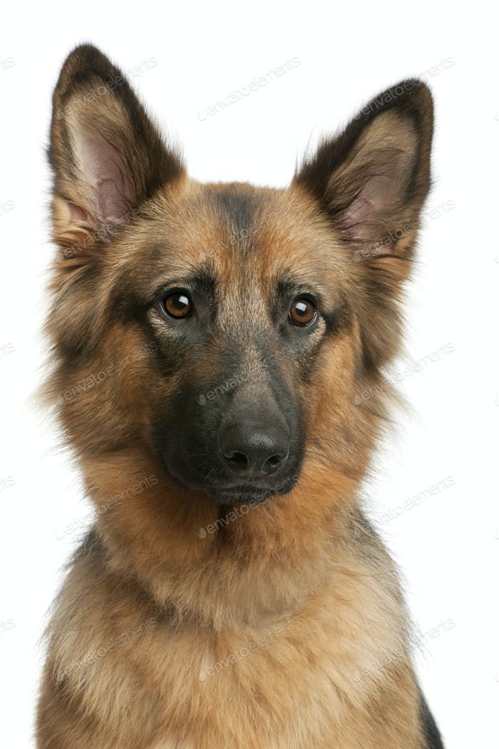 Close-up of German shepherd, 3 years old, in front of white background