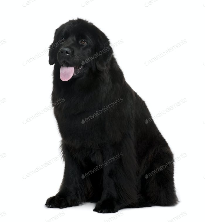 Newfoundland dog sitting in front of white background