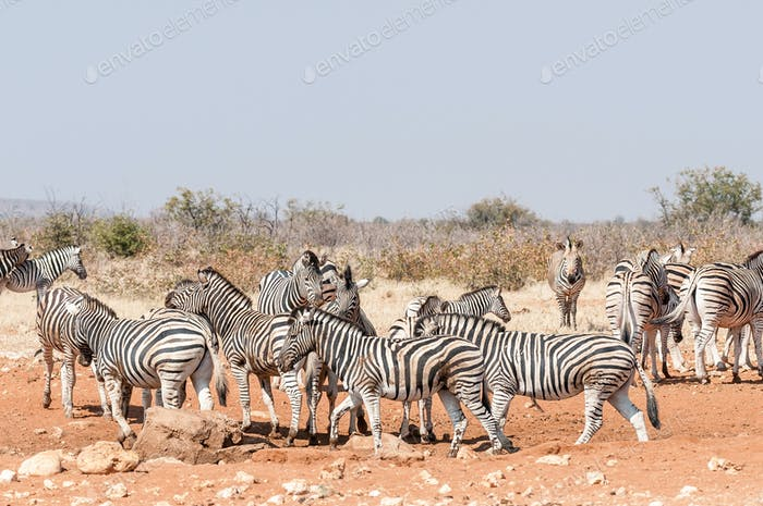 Burchells Zebras and Hartmann Mountain Zebras