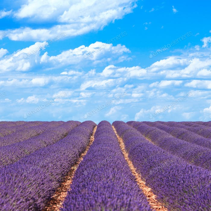 Lavender flower blooming fields horizon. Valensole Provence, France.