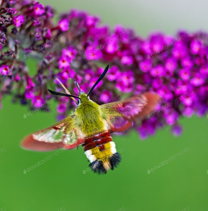 Hummingbird hawk-moth flying to a budleia flower