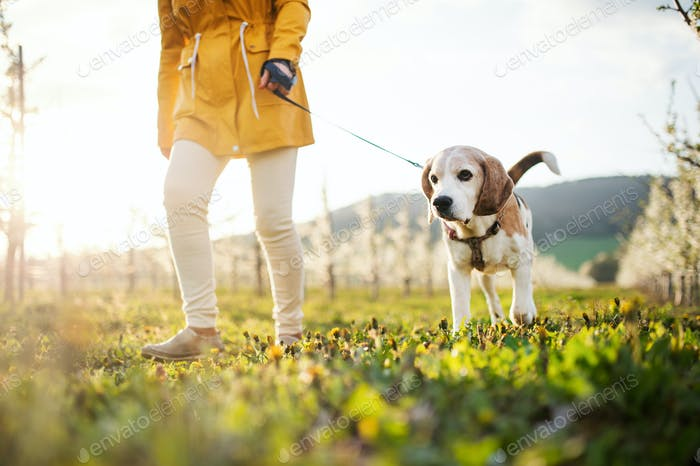 Midsection of senior woman with a pet dog on a walk in spring orchard