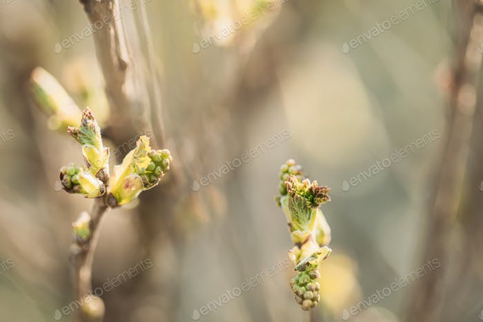 Ribes Rubrum oder Rote Johannisbeere, Rote Johannisbeere. Junger Frühling Grüne Blätter Wachsend In Bush Pflanze. Jung