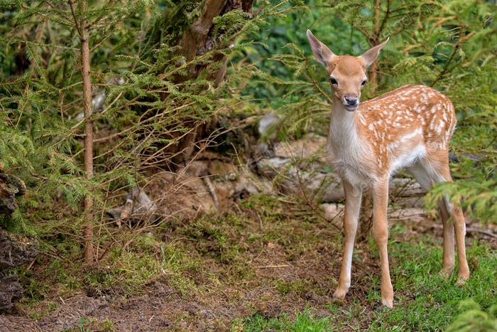 Young Fallow deer in the forest