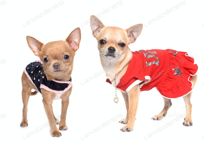 dressed puppies chihuahua