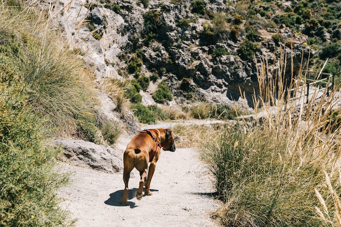 Boxer dog walking in the mountain. Cahorros, Granada, Spain