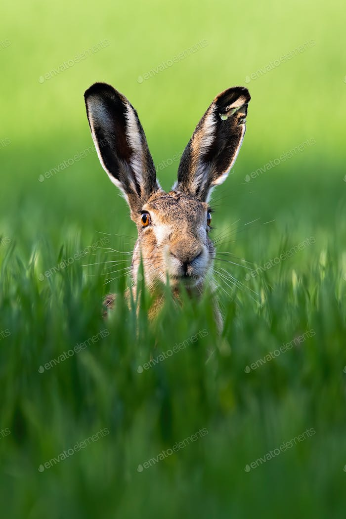 Vertical portrait of brown hare, lepus europaeus, in springtime on green field