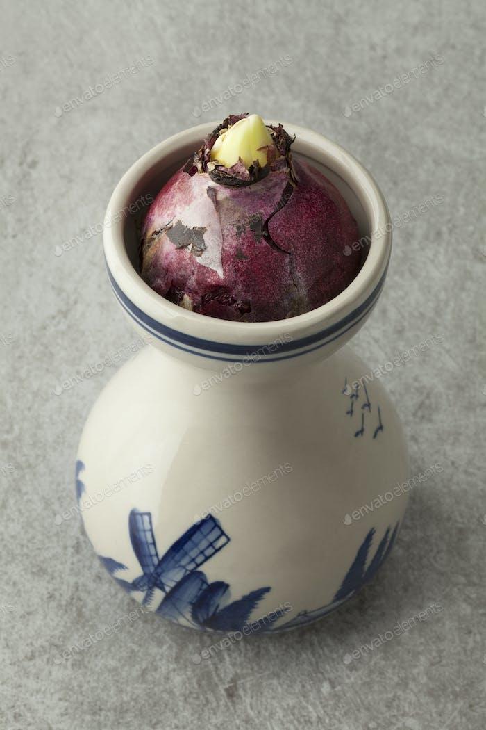 Hyacinth flower bulb growing in a traditional Dutch vase