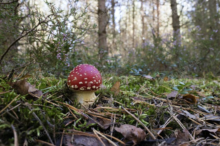 Amanita mushroom growing the woods