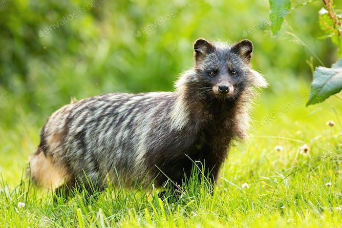 Horizontale Zusammensetzung von wilden Waschbären Hund, nyctereutes procyonoides, im Sommer