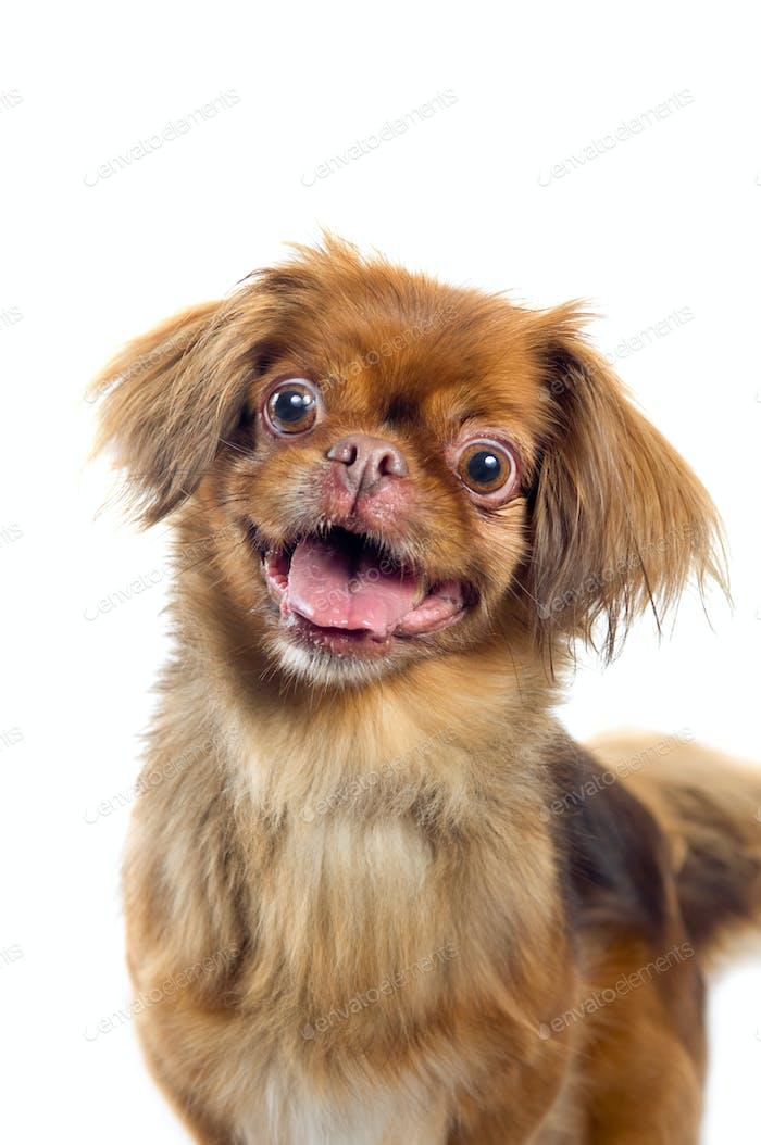 Pekingese dog portrait