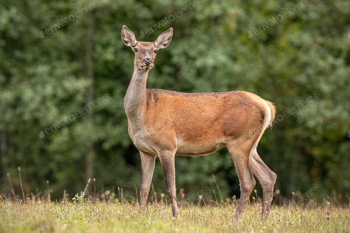 Summer nature scenery of wild red deer hind