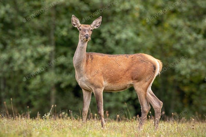 Summer nature scenery of wild red deer hind