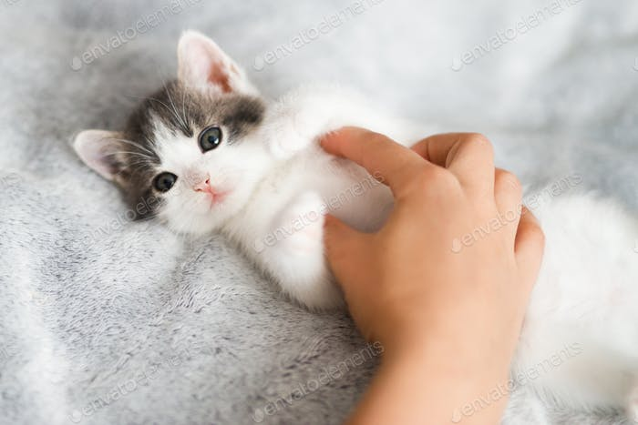 Hand caressing cute little kitten on soft bed. Owner playing with adorable grey and white kitty