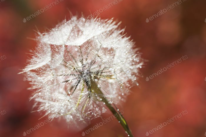 A dandelion seedhead, delicate and fluffy.