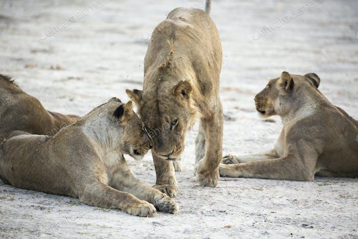Ein Stolz weiblicher Löwen.