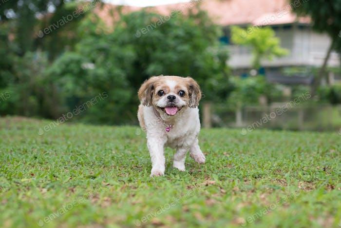 Portrait of a cute Shih Tzu dog