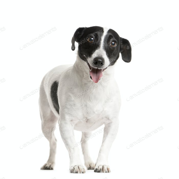 Mixed breed dog standing, cut out