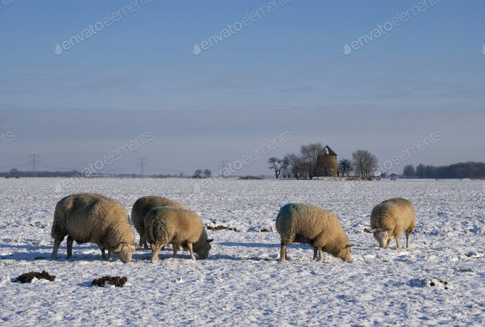 Sheep in a snow covered landscape