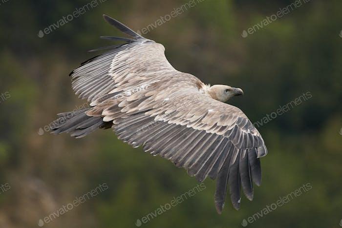Griffon vulture, Eurasian griffon (Gyps fulvus)