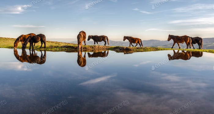 Herd of horses drinking in a pool