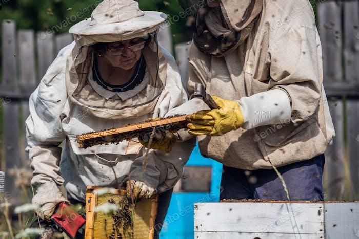 Les  apiculteurs âgés inspectent les nids d'abeilles. Entreprise de rucher familiale locale