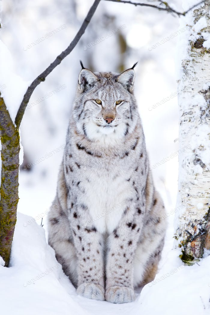 Close-up of proud lynx cat in the winter forest