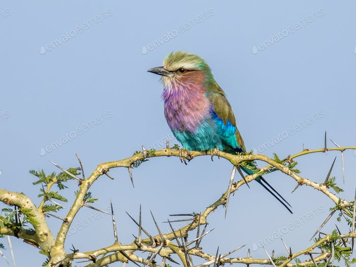 Lilac breasted roller in thorny bush
