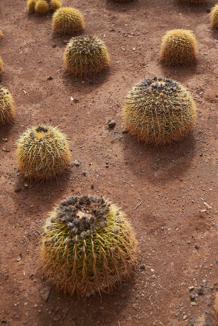 spherical cactuses growing on dirt (echinocactus grusonii)