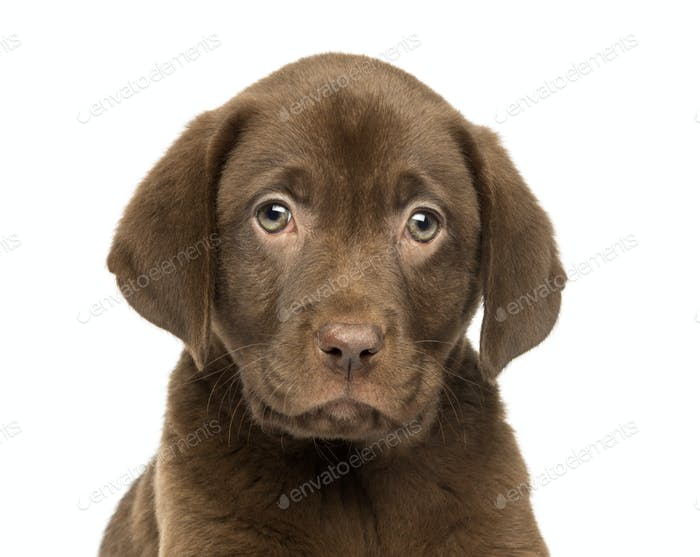 Close-up of a Labrador Retriever Puppy, 2 months old, isolated on white