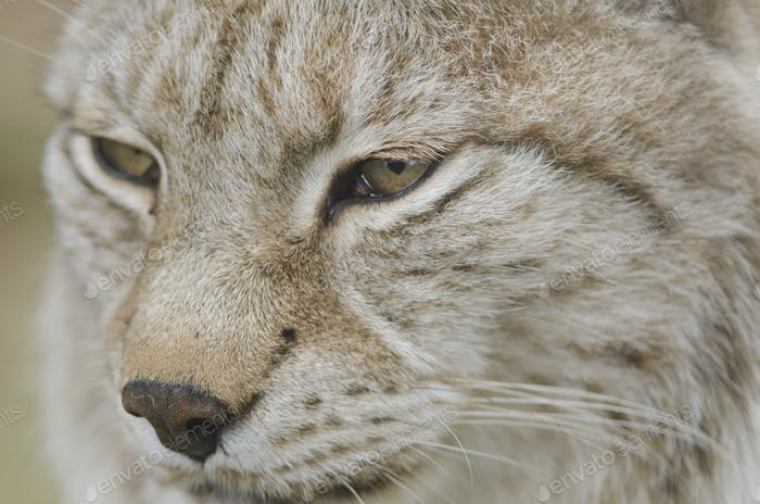 Портрет евразийской рыси рысь рысь рысь
