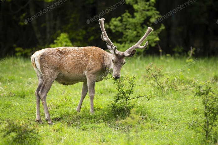 Majestic red deer stag with antlers in velvet feeding on bush