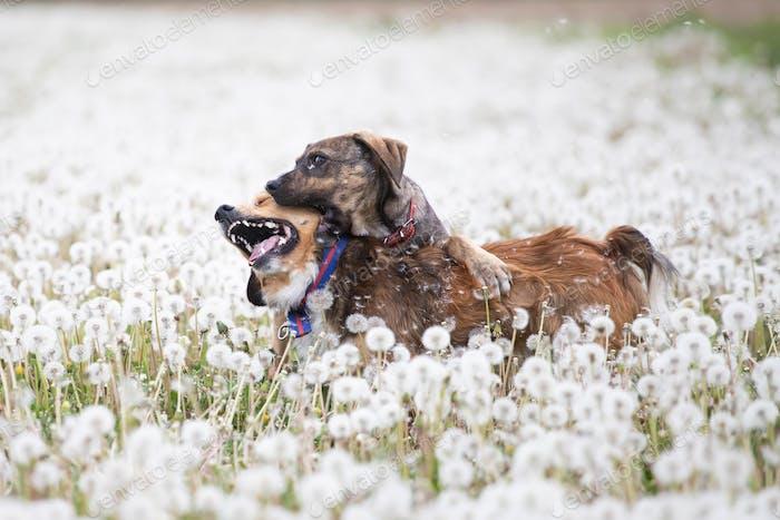 Dogs in magic dandelion meadow.