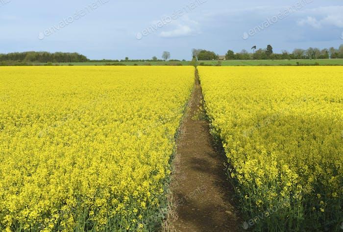 A narrow footpath in a field of ripe oil seed rape crop in full flower.