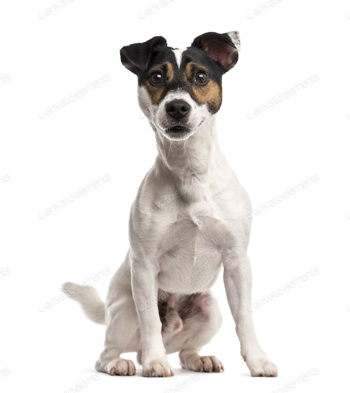 Jack Russell Terrier (16 months old)