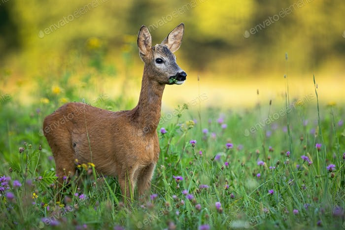 Young roe deer buck with small antlers grazing on a green meadow in summer