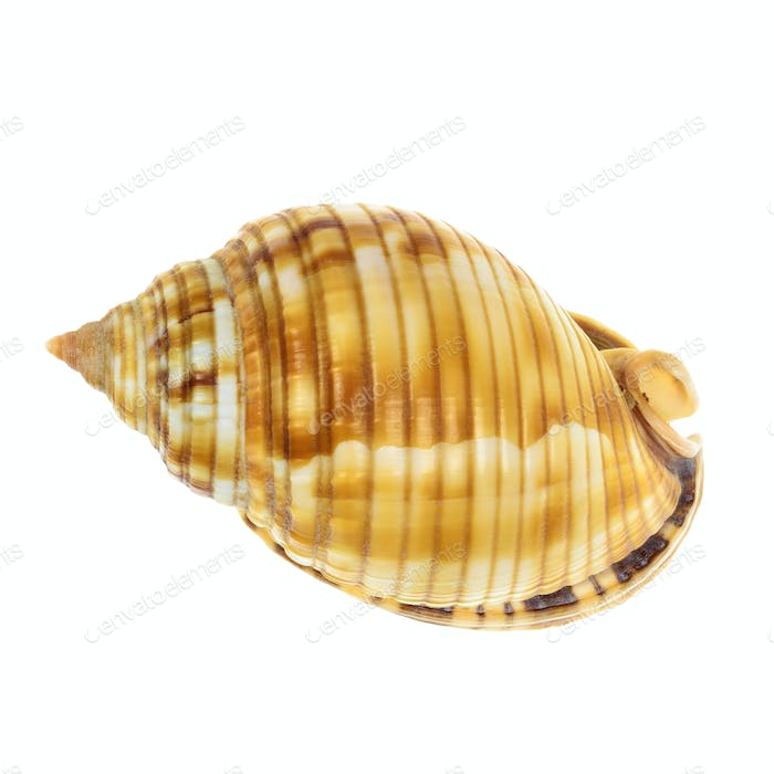 Sea Mollusk Shell isolated on white background