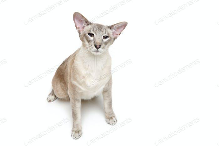 Schöne orientalische Siam Katze